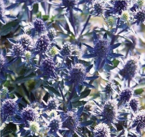 paquet en vrac Fleur Eryngium planum 80 graines Blue Hobbit