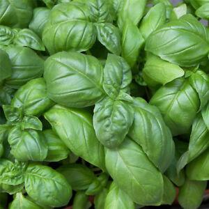 Basil-seeds-ocimum-basilicum-seeds-vegetable-fragrant-for-planting-Medicinal-Pip