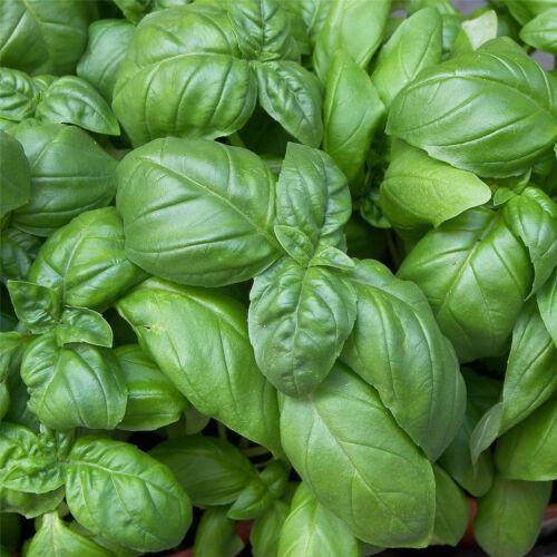 Basil seeds ocimum basilicum seeds vegetable fragrant for planting-Medicinal G$