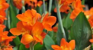 Canna-Lily-Orange-canna-x-generalis-5-Reliable-Viable-Seeds