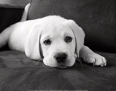 LABRADOR RETRIEVER DOG ART PRINT Finn by Kim Levin 11x14 Yellow Lab Puppy Poster