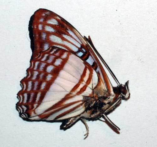unmounted butterfly ADELPHA EROTIA