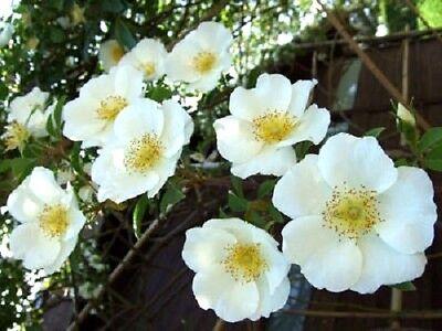10 WHITE JAPANESE ROSE Rosa Rugosa Alba Bush Flower Seeds +Gift & Comb SH