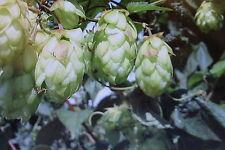 5 semillas lúpulo, Humulus lupulus #495