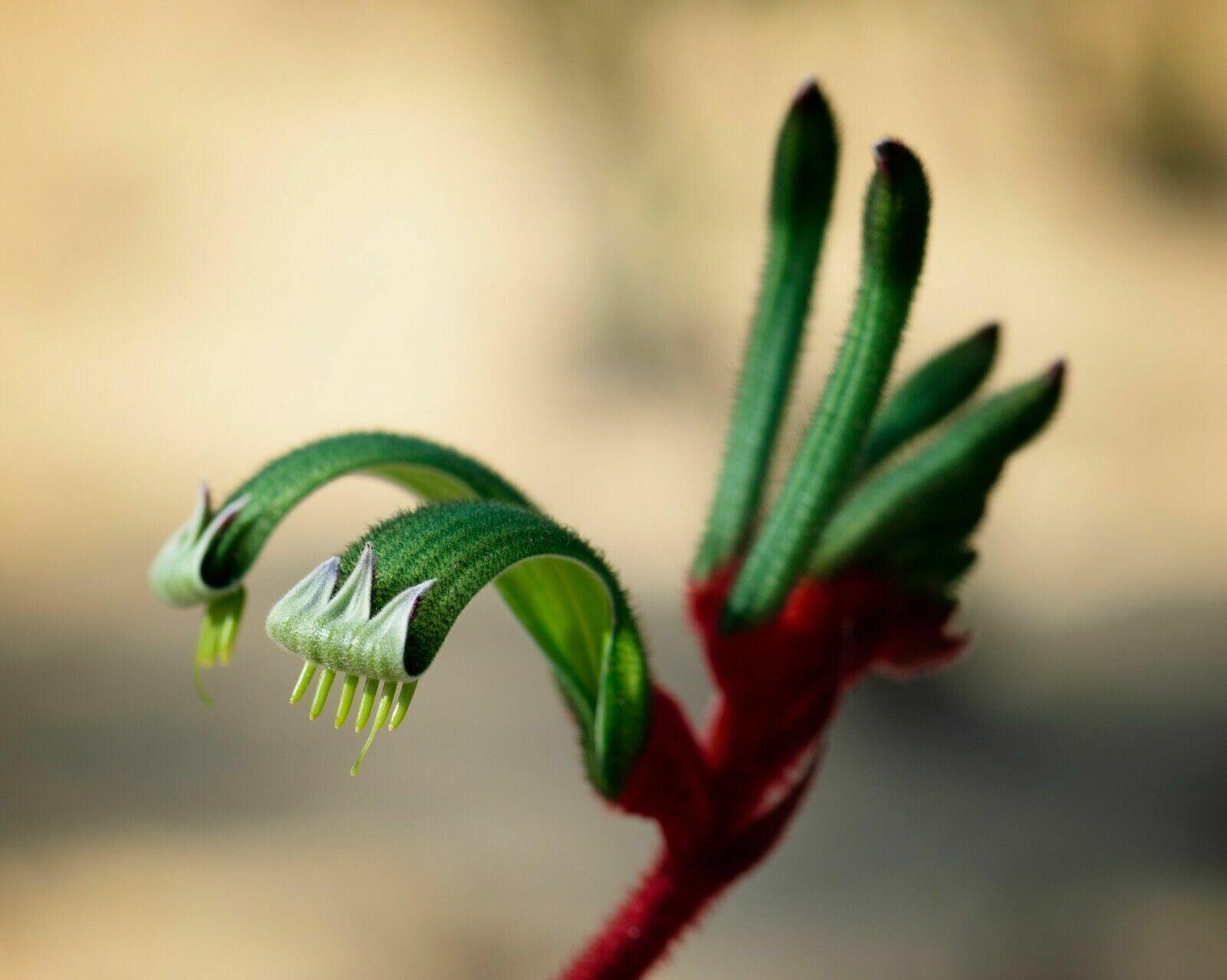 50 KANGAROO PAW Seeds Anigozanthos flavidus Green-Yellow.