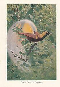 C1914-Naturale-Storia-Stampa-Great-Uccello-Di-Paradise-Lydekker