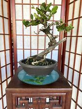Buttonwood Bonsai Specimen Tree 2 Trunk With Great Movement 5 Roots Spread Ebay