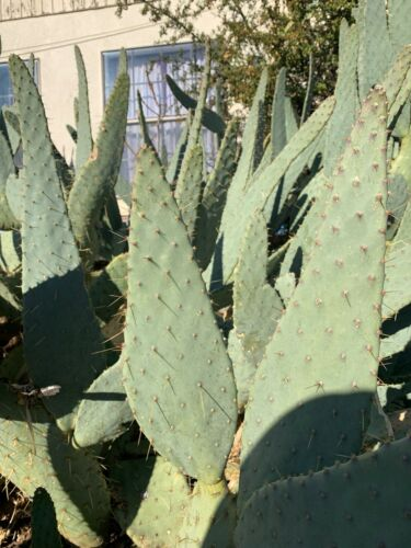 Cow tongue cactus pads Small ready to replant get 3 pads with every purchase.