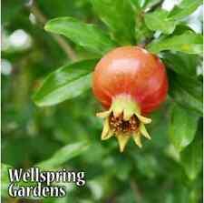 Dwarf Pomegranate Punica granatum nana LIVE PLANT fruit plant