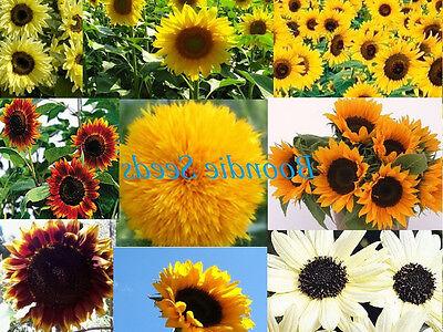 SUNFLOWER 'Mix' 150 seeds BULK PACK flower garden spring summer EASY TO GROW