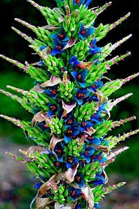 Puya-Berteroniana-Alpestris-Sapphire-Tower-10-20-Seeds-Amazing-Flowers-Rare