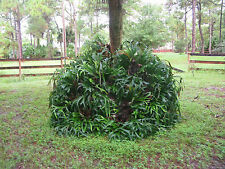 50+  year Old Staghorn/Elkhorn Fern - Monsterous & Healhty - needs a good home!