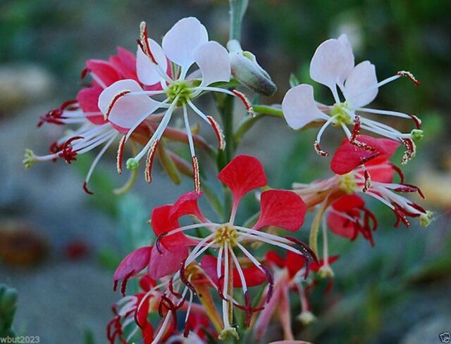 "Scarlet Gaura - Gaura coccinea - Also known as,""Scarlet beeblossom"".Flowers Seed"