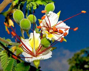 Delonix Decaryi Flamboyant Poinciana Tree Very Rare Bonsai Plant Seed 5 Seeds Ebay
