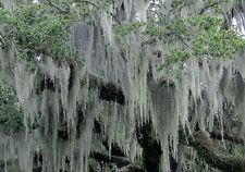 SPANISH MOSS 5 lb FRESH LIVE AIR PLANT FOR GROWING, CRAFTS & FLOWER ARANGEMENTS