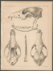 1850s-Lithograph-Print-of-Mammal-Skulls-from-the-Pacific-Railroad-Survey