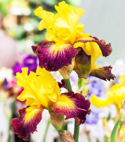2 Yellow Purple Iris Bearded Bulbs Home Garden Living Plants Perennial Outdoor