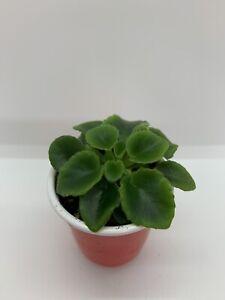 African-Violet-Plant-Irish-Flirt-Semiminiature