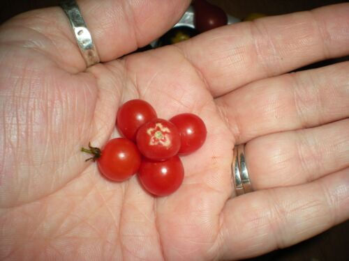 20 Seeds SEE OUR STORE! COMB S//H World/'s Smallest Tomato Spoon Currant Tomato