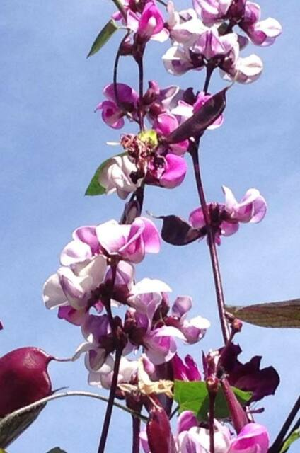 Dolichos Lablab Alba White Hyacinth Bean heirloom seeds fragrant blooms RARE