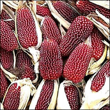 STRAWBERRY POPCORN CORN Zea Mays 10 Seeds