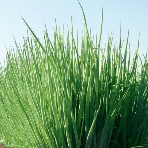 Graines Welsh Onion Piero Légume Vert Bio Heirloom Russe Ukraine
