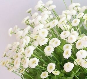 Matricaria snowball seeds perennial white pom pom flower reseeds ebay image is loading matricaria snowball seeds perennial white pom pom flower mightylinksfo