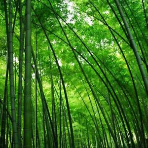 Am-JN-Lots-20Pcs-Seeds-Phyllostachys-Pubescens-Moso-Bamboo-Seeds-Garden-Plants