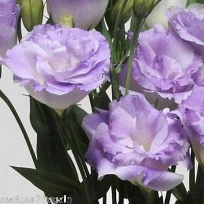 ABC 1-3 MISTY BLUE LISIANTHUS 25 SEEDS LOVELY BLOOMS SURE TO ATTRACT ATTENTION
