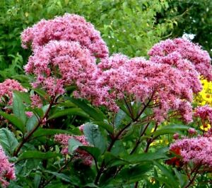 Joe pye eupatorium butterfly weed flower pink tall perennial monarch image is loading joe pye eupatorium butterfly weed flower pink tall mightylinksfo