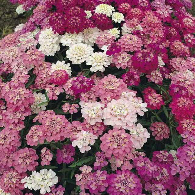 FLOWER CANDYTUFT IBERIS UMBELLATA DWARF FAIRY MIX 7500 SEEDS BULK