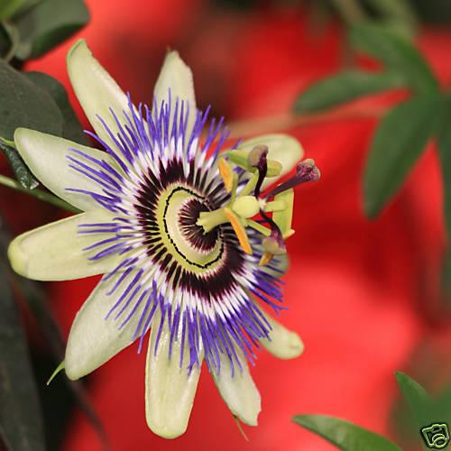 10 Passiflora coerulea SEMI FIORI DELLA PASSIONE SEEDS