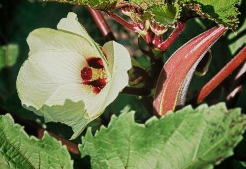 Hibisco Abelmoschus moschatus 10 Semillas Okra