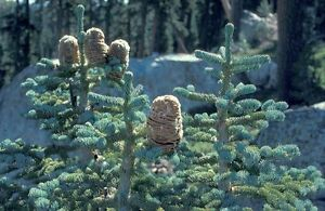 California Red FIR, Red FIR, Abies Magnifica, Christmas tree, Plug plants.
