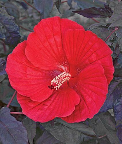 10 Midnight Marvel Hardy Hibiscus Seeds For Sale Online Ebay