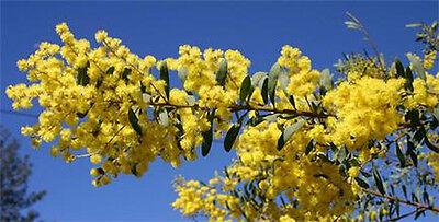Showy Wattle (Acacia decora) - 30 Fresh Seeds