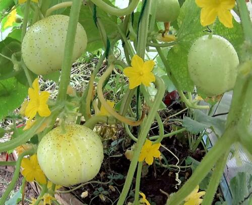 Gurke Crystal Lemon 50 Samen