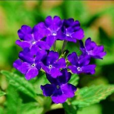 20x Blue Verbena hybrida Flower Seeds Balcony Bonsai Yard Garden Home Planting