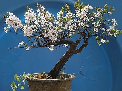 CEREZO De Santa Lucia  Ideal Bonsai  25 Semillas Seeds