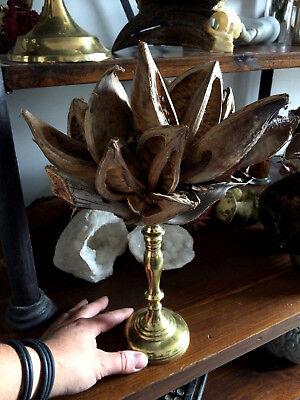 Cabinet de curiosités Superbe fruit de Proboscidea louisianica du Brésil!!