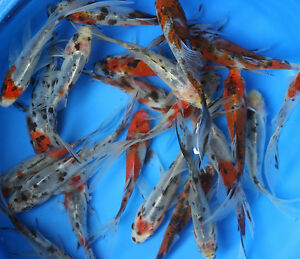 Live shubunkin goldfish 3 inch for fish tank koi pond or for Carpe koi aquarium 300 litres