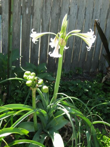 Crinum Lily Bulbispermum Album /'White Knight/' medium-size bulb NEW