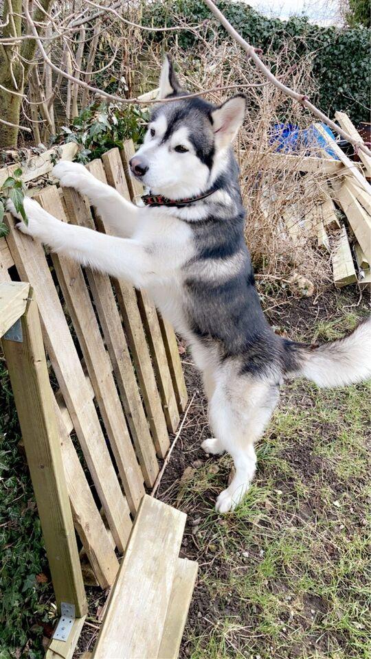 Alaskan malamute AVL, hund, 2 år