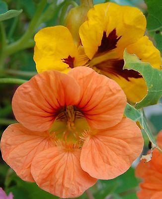 15 Samen Kapuzinerkresse niedrig, leuchtendes Blütenmeer essbare Blüten Kresse