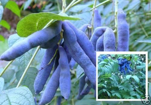 Blaugurke Pflanzen für den Topf Balkon Zimmerobst Gemüse Bioobst frisch Dekoidee