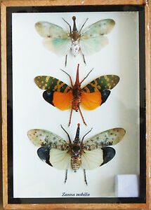 Real-Exotic-Lantern-Flies-Zanna-Nobilis-Set-of-3-taxidermy-in-Wooden-Box