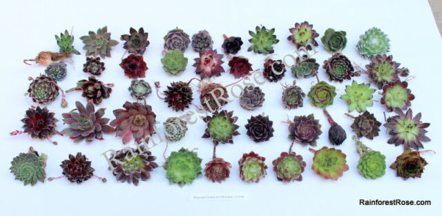 6 Succulent Sempervivum Hens Chicks Rooted Baby Plants Plugs