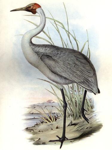 John Gould Native Bird print heron art brolga painting Vintage Old Australia