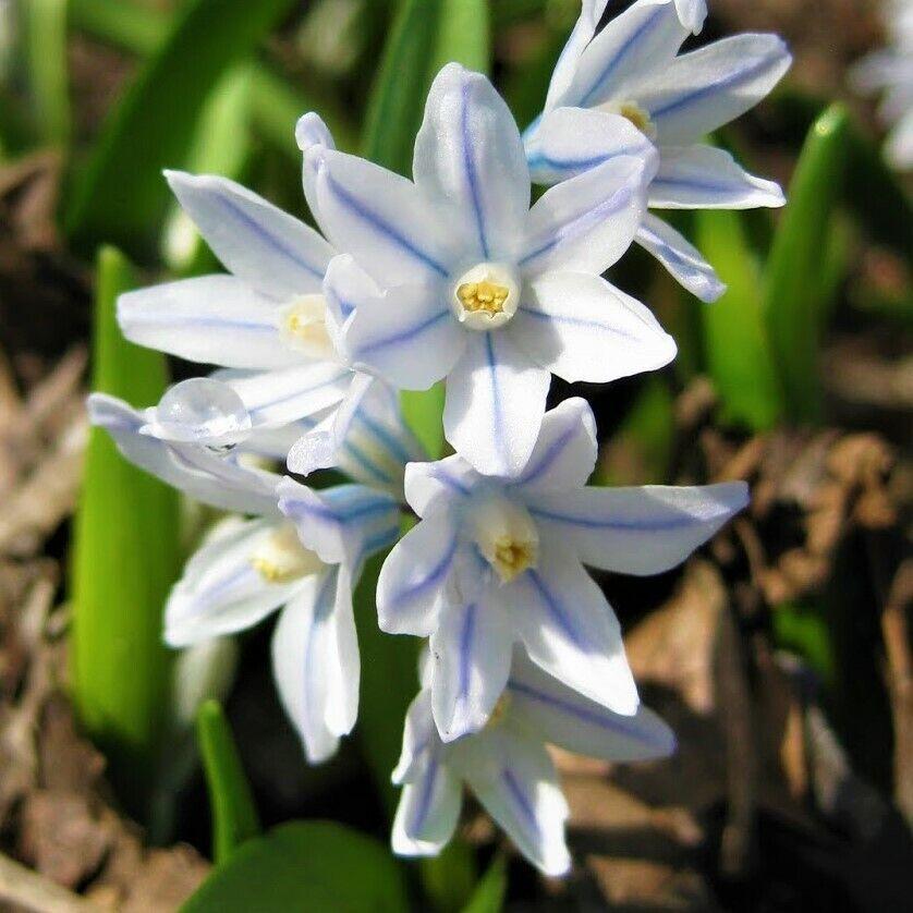 Bolly Bulbs® Puschkinia Libanotica (Russian Snowdrops) Bulbs Spring Flowering