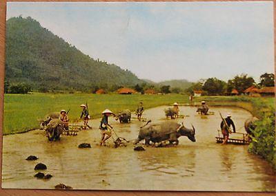 POSTCARD VIETNAM WAR Propaganda Rifle GUN Crop Old Vintage Bull Ox rice vtg